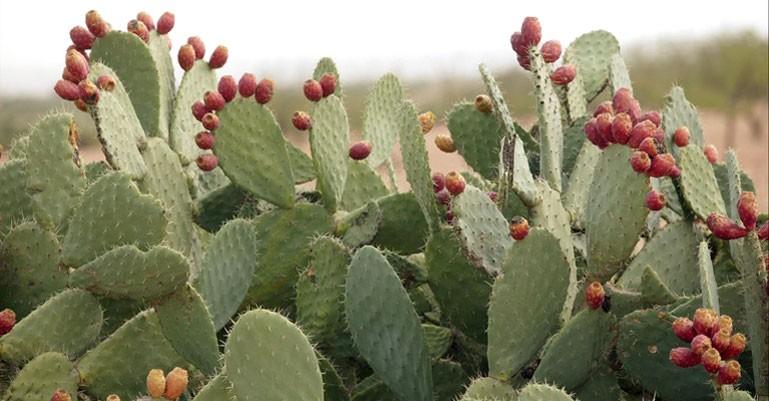 Los cactus en el mundo. Entre el desierto y la montaña